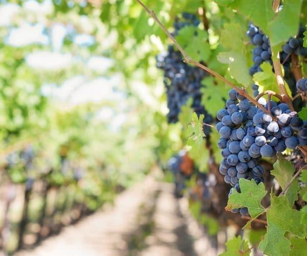 Les vins de Bourgogne, le premier argument touristique de la région ?